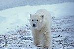 Polar Bear - cub
