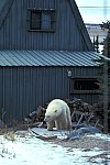 Polar Bear on the house
