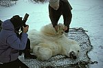 Polar Bear (anesthetizes)