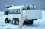 Polar Bear at Tundra Buggy