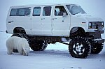 Polar Bear on the car