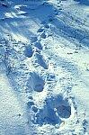 Polar Bear -  track