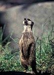 Slender - tailed meerkat