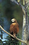 Black - collared Hawk