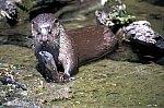 European Otter
