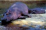 Hippopotamus with cub