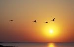 Greylag Goose in Sunset
