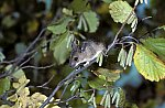 Gelbhalsmaus / Yellow-necked Mouse