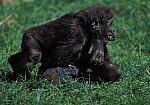 Gorilla - cubs