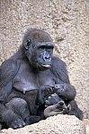 Western Gorilla with cub