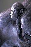 Western Gorilla - cub