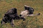 Grey Gibbon