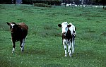 Cattle / Cow