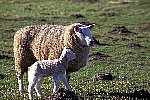 Domestic Sheep