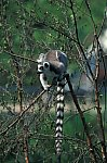 Ring - tailed Lemur