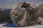 Gray,-or Horsehead Seal