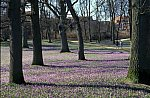 Crocus flowering time in Husum