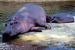 Hippopotamus with cub