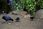 Coot with chicken