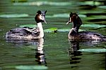 Great Crested Grebe with chicken