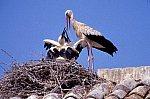 White Stork with chicken