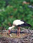 White Stork with chick
