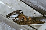 White Wagtail with chicken