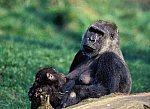 Gorilla with cub-suckling
