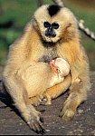 Black Gibbon with cub