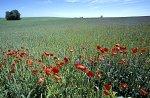 Cornflower & Red Poppy