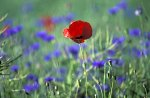 Cornflower & Red Poppy
