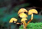ypholoma fasciculare