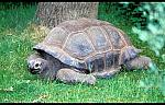 Indian Ocean Giant Tortoise