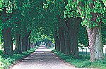 Old tree avenue
