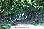 Old tree avenue