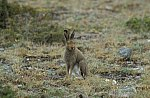 Blue Hare - Montain Hare