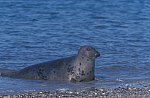 Grey Seal - Horse Head Seal