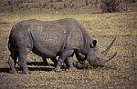 Black or Hook - lipped Rhinoceros