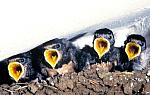 Swallow- chicks