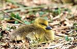 Grey-lag-Goose- chick