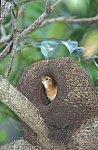 Rufous Homero (Ovenbird)