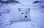Polar Fox,  Arctic fox