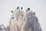 Carrion Crows on the birch