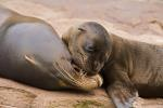 Californian Sea Lion with cub