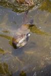 European Otter, River Otter