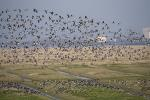 Barnacle Goose before the nuclear power station Brookdorf