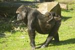 Gorilla with cub