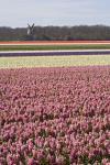 Keukenhof Garden, Lisse, Netherlands