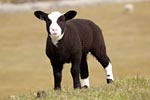 Young Domestic Sheep