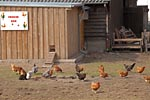 Domestic Fowl, Free-range husbandry